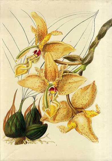 Orchids from the Botanical Register 1815-1847 The Texts/The Illustrations 2冊組/S. Sprunger編